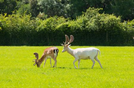 hants: New Forest wild deer red and albino white near Lyndhurst England uk
