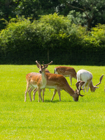 Wild deer with antlers New Forest England UK in a field in summer