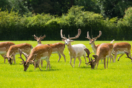 hants: English wild deer with antlers New Forest England UK in a field in summer