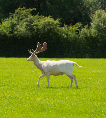 White deer in the New Forest Hampshire England uk