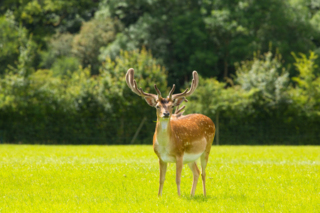 hants: Deer with antlers New Forest England UK