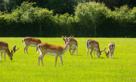 Red deer New Forest England UK