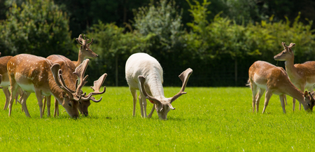 Deer grazing with horns or antlers New Forest England UK Stock Photo