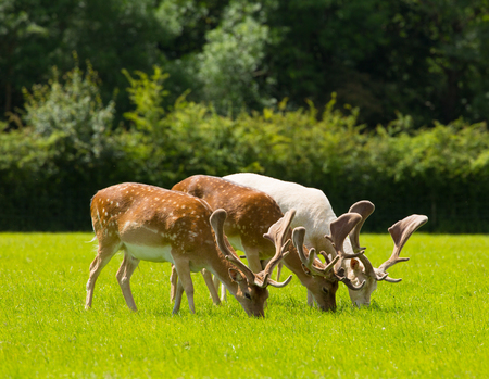 Deer grazing in English countryside scene New Forest Hants UK