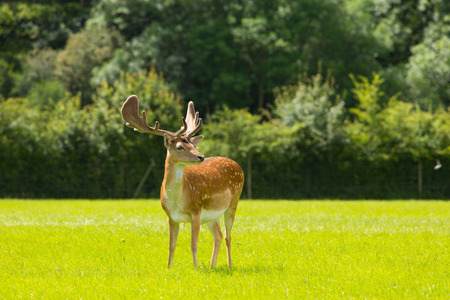 hants: Beautiful red deer with antlers New Forest England UK Stock Photo