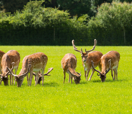 hants: English countryside scene New Forest with wild deer