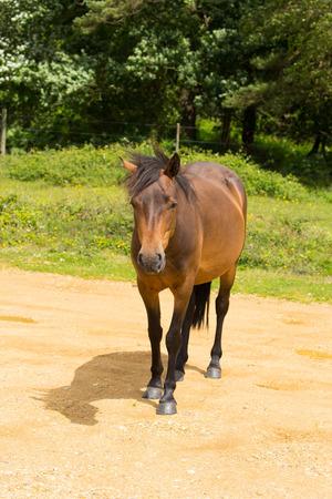 hants: Wild pony New Forest Hants England UK