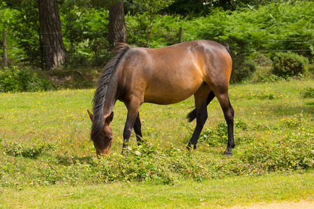 hants: Wild pony New Forest Hants England UK brown colour