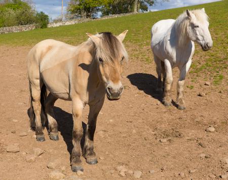 dun: Dun cream coloured pony with white friend