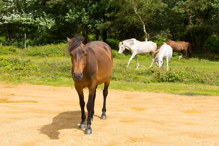 hants: Wild ponies New Forest Hants England UK Stock Photo