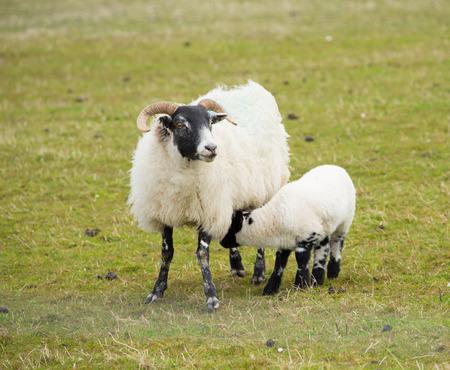 Scottish sheep isle of Mull Scotland uk with horns and white and black legs