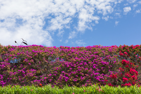 Bougainvillea flowers, beautiful in red and purple in a hedge or bush with blue sky in summer Stock Photo