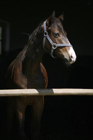 carreras de caballos: Primer plano de una bah�a joven