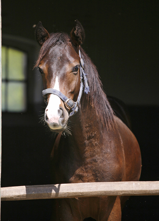 Thoroughbred horse portrait at the stable door    Close-up of a youngster chestnut bay   photo