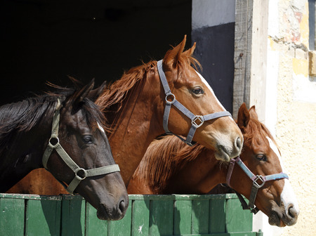Youngster horses in the barn