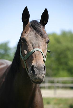 Headshot of a beautiful brown horse photo