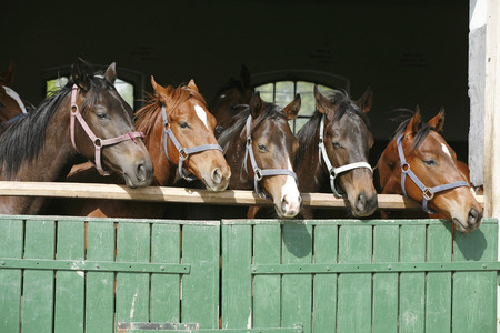 Nice thoroughbred foals in stable