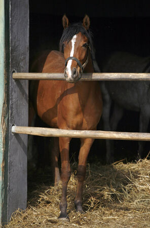 Close-up of a youngster chestnut bay in the stable door photo
