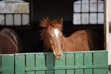 race for time: Horse behind a green  wooden stable door