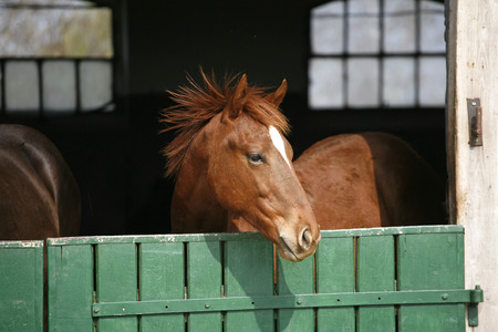 racehorses:  Young thoroughbred horse in the corral door Stock Photo