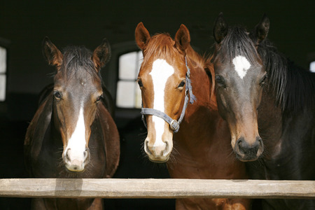 Nice thoroughbred horses in the stable  Youngsters in the barn photo