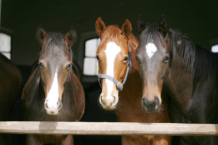 Horses in their stable photo