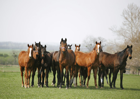 Purebred racing horses on the meadow Beautiful herd of thoroughbred horses in pasture
