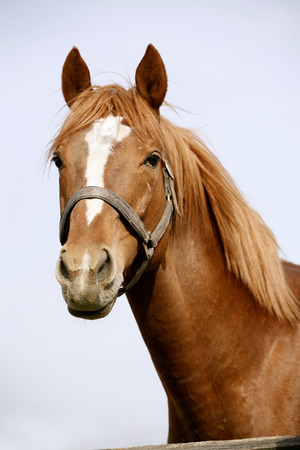 Head shot of a chestnut horse  Portrait of nice brown bay horse Stock Photo