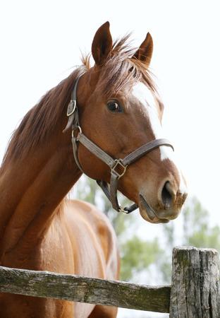 halter: Portrait of a beautiful horse   Head shot of a beautiful bay horse in the pinfold Stock Photo