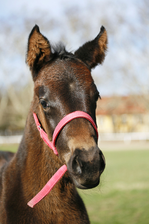 horse collar: Baby horse in pasture  Portrait of a two weeks old thoroughbred foal Stock Photo