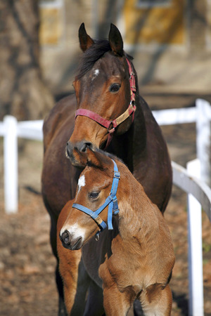 A few weeks old foal with mare at the corral