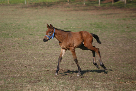 warmblood:  Thoroughbred foal running alone in nature