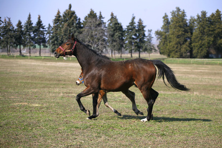pastureland:  Foal and mare running together in springtime    Little colt following her mother in pastureland
