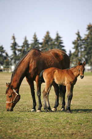 pastureland:  Little colt following her mother    Thoroughbred mare and foal grazing in spring pasture Stock Photo