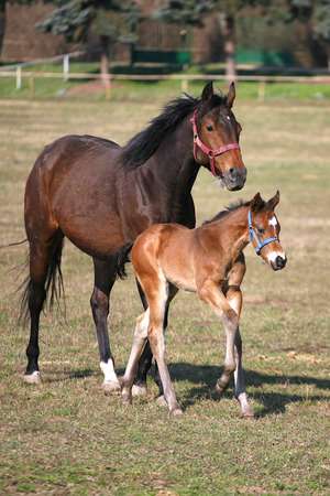 pastureland:  Mare and foal galloping together in pastureland    Thoroughbred mare and foal grazing in spring pasture