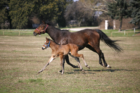 Little colt following her mother in pastureland   Foal and mare running together in springtime