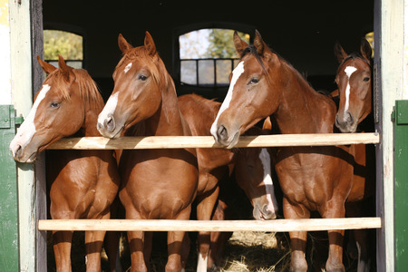 Nice thoroughbred horses in the stable