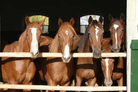 Nice thoroughbred foals in the stable Archivio Fotografico