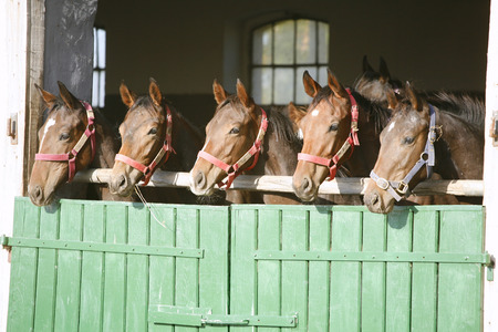 Funny thoroughbred horses at the corral door