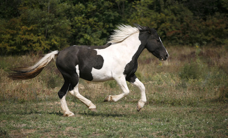 Beautiful black and white horse running in pasture  Gorgeous paint horse running on flowered spring pasturage  photo