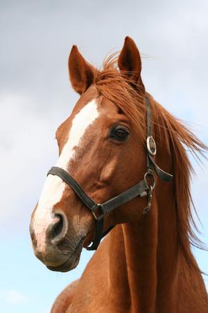 아름다운 베이 말의 머리에 총을 스톡 콘텐츠