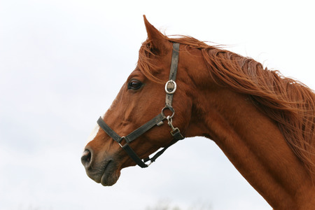 horse chestnut:  Thoroughbred head portrait  Beautiful horse headshot Stock Photo