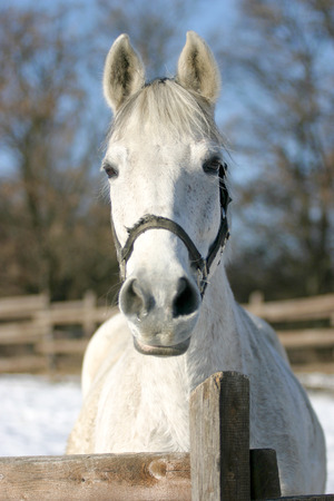 Headshot of a beautiful grey horse in sunny wintertime    	Close-up of a white horse in paddock Archivio Fotografico