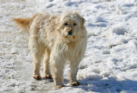 herding dog:  Herding dog   Funny hungarian herding dog in a horse farm at winter time