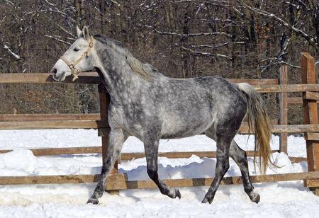 Grey horse running across winter corral Stock Photo