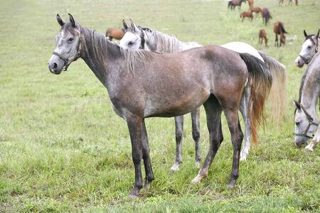 Thoroughbred arabisches Pferd weiden Wiese Graues Pferd alleine auf der Weide stehen