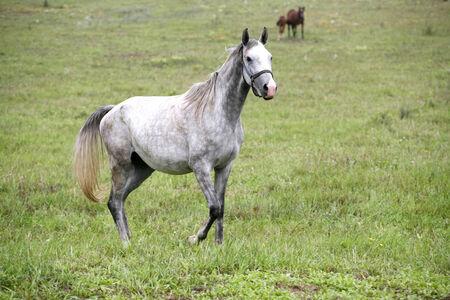Thoroughbred arabisches Pferd weiden Wiese Graues Pferd alleine auf der Weide stehen Standard-Bild