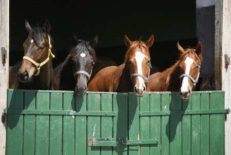 Thoroughbred foals in the stable  Purebred horses in the barn door Фото со стока