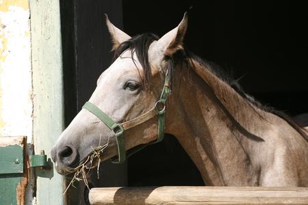 pastureland: Beautiful purebred gray arabian horse standing in the barn door