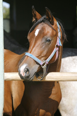 Young thoroughbred arabian horse standing in the stable door.     Close-up of a youngster chestnut bay photo
